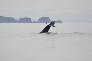 Whale Watching Port Hardy