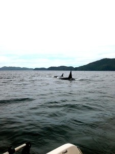 Orca whales - Vancouver Island