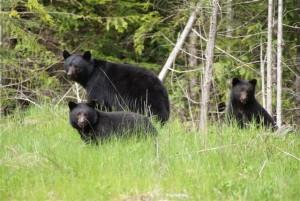 Black Bears Port Hardy