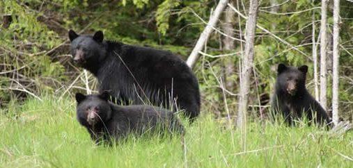 north-island-bears